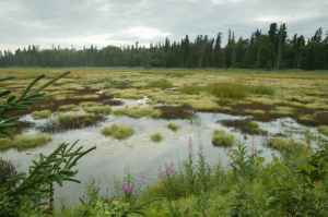fireweed-and-spruce-highlight-this-bog 2